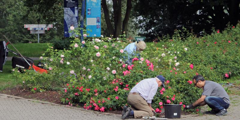Pflegemaßnahmen am Rosenbeet
